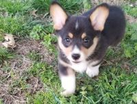 Corgi Puppies for sale in Milwaukee, WI 53263, USA. price: NA
