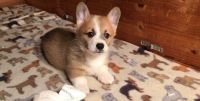 Corgi Puppies for sale in Cincinnati, OH, USA. price: NA