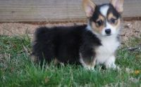 Corgi Puppies for sale in Hartford, CT, USA. price: NA