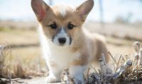 Corgi Puppies for sale in Indianapolis, IN, USA. price: NA