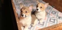 Corgi Puppies for sale in Orlando, FL, USA. price: NA
