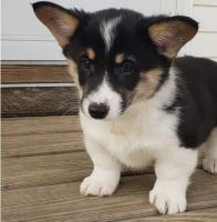 Corgi Puppies for sale in Phoenix, AZ, USA. price: NA