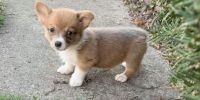 Corgi Puppies for sale in Detroit, MI 48216, USA. price: NA