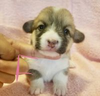 Corgi Puppies for sale in Annapolis, MD, USA. price: NA