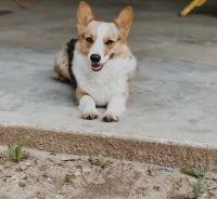 Corgi Puppies for sale in Keller, TX 76244, USA. price: NA