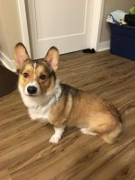 Corgi Puppies for sale in Golden Valley, MN, USA. price: NA