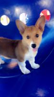 Corgi Puppies for sale in Gillette, WY 82717, USA. price: NA