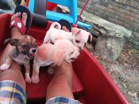 Corgi Puppies for sale in Albany, GA, USA. price: NA