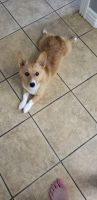 Corgi Puppies for sale in Farmington, AR 72730, USA. price: NA