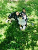 Corgi Puppies for sale in Rocky Face, GA 30740, USA. price: NA