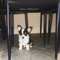 Corgi Puppies for sale in Festus, MO, USA. price: NA
