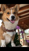 Corgi Puppies for sale in St Johns, AZ 85936, USA. price: NA