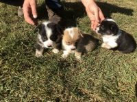 Corgi Puppies for sale in Shelbyville, MO 63469, USA. price: NA