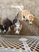 Corgi Puppies for sale in Lancaster, CA, USA. price: NA