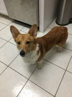 Corgi Puppies for sale in Sayreville, NJ, USA. price: NA