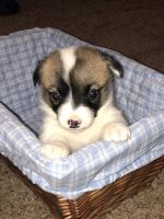 Corgi Puppies for sale in Gayville, SD 57031, USA. price: NA
