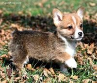 Corgi Puppies for sale in Houston, TX, USA. price: NA
