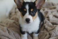 Corgi Puppies for sale in Ewa Beach, HI, USA. price: NA