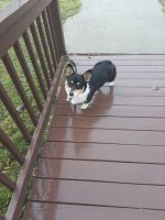 Corgi Puppies for sale in Templeton, PA 16259, USA. price: NA