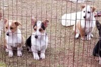 Corgi Puppies for sale in Macomb, OK, USA. price: NA