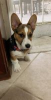 Corgi Puppies for sale in Santa Ana, CA, USA. price: NA
