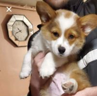 Corgi Puppies for sale in Lawrenceville, GA, USA. price: NA