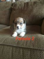Corgi Puppies for sale in Protection, KS 67127, USA. price: NA