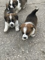 Corgi Puppies for sale in Stoddard, WI 54658, USA. price: NA