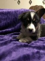 Corgi Puppies for sale in 2969 Hatcher Valley Rd, Cave City, KY 42127, USA. price: NA