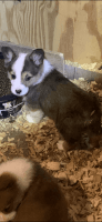 Corgi Puppies for sale in Buffalo, WV, USA. price: NA
