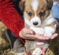 Corgi Puppies for sale in Tennessee City, TN 37055, USA. price: NA