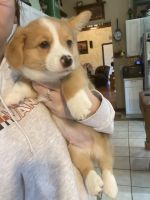 Corgi Puppies for sale in St Charles, MO 63301, USA. price: NA