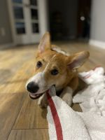 Corgi Puppies for sale in Smyrna, GA, USA. price: NA
