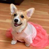 Corgi Puppies for sale in Coarsegold, CA 93614, USA. price: NA