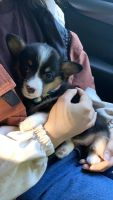 Corgi Puppies for sale in Grand Prairie, TX, USA. price: NA