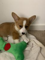 Corgi Puppies for sale in Germantown, MD, USA. price: NA
