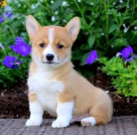 Corgi Puppies for sale in Philadelphia, PA, USA. price: NA