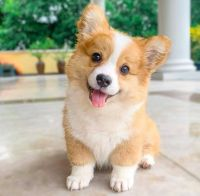 Corgi Puppies for sale in Miami, FL, USA. price: NA