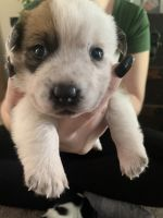 Corgi Puppies for sale in Youngsville, NC 27596, USA. price: NA
