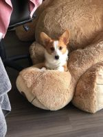Corgi Puppies for sale in Washington, DC, USA. price: NA