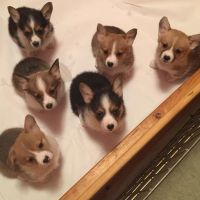 Corgi Puppies for sale in Tampa, FL, USA. price: NA