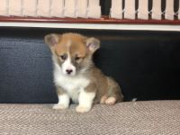 Corgi Puppies for sale in Chicago, IL, USA. price: NA