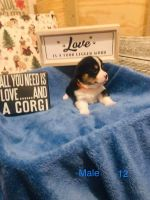 Corgi Puppies for sale in Campbell, TX 75422, USA. price: NA