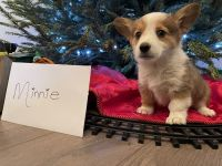 Corgi Puppies for sale in Bakersfield, CA, USA. price: NA