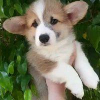 Corgi Puppies Photos