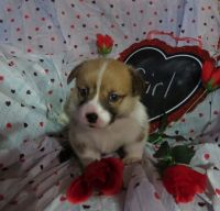 Corgi Puppies for sale in Grayling, MI 49738, USA. price: NA