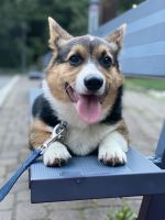 Corgi Puppies for sale in Bergen County, NJ, USA. price: NA