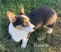Corgi Puppies for sale in 2166 E Prospect Rd, Jefferson, TX 75657, USA. price: NA