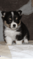 Corgi Puppies for sale in Ava, MO 65608, USA. price: NA
