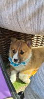 Corgi Puppies for sale in Hebron, KY 41048, USA. price: NA